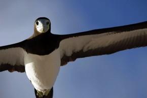 A brown booby bird