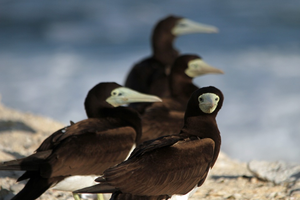 Brown booby birds